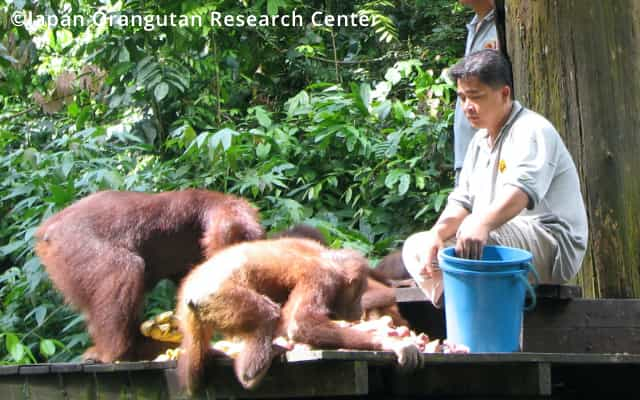 Conservation of orangutans